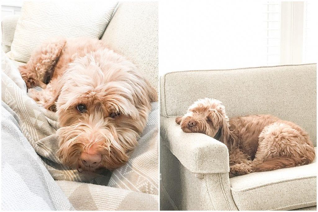 Goldendoodle Hattie Rayburn sleeping in Victoria Rayburn Photography's office